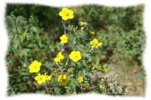 イワキンバイに似た花